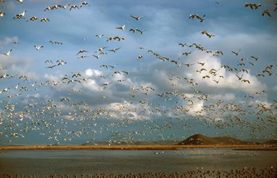 Ross Geese over Lower Klamath National Wildlife Refuge