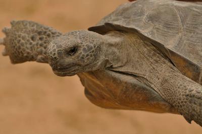 gopher tortoise.jpg