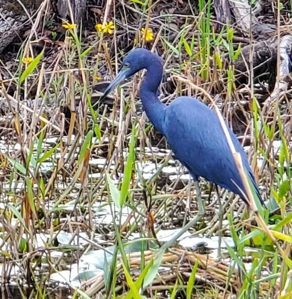 600x614 Great Blue Heron crowned with flowers, Suwannee River, Okefenokee Swamp, 2019-12-07, Pictures, in Help Georgia stop titanium mine threatening Okefenokee Swamp --Dirty Dozen 2020, Georgia Water Coalition, by John S. Quarterman, for WWALS.net, 17 Nov