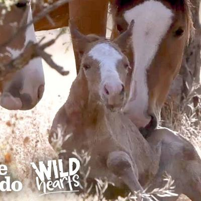 Wild Baby Horse Takes Her Very First Steps | The Dodo Wild Hearts