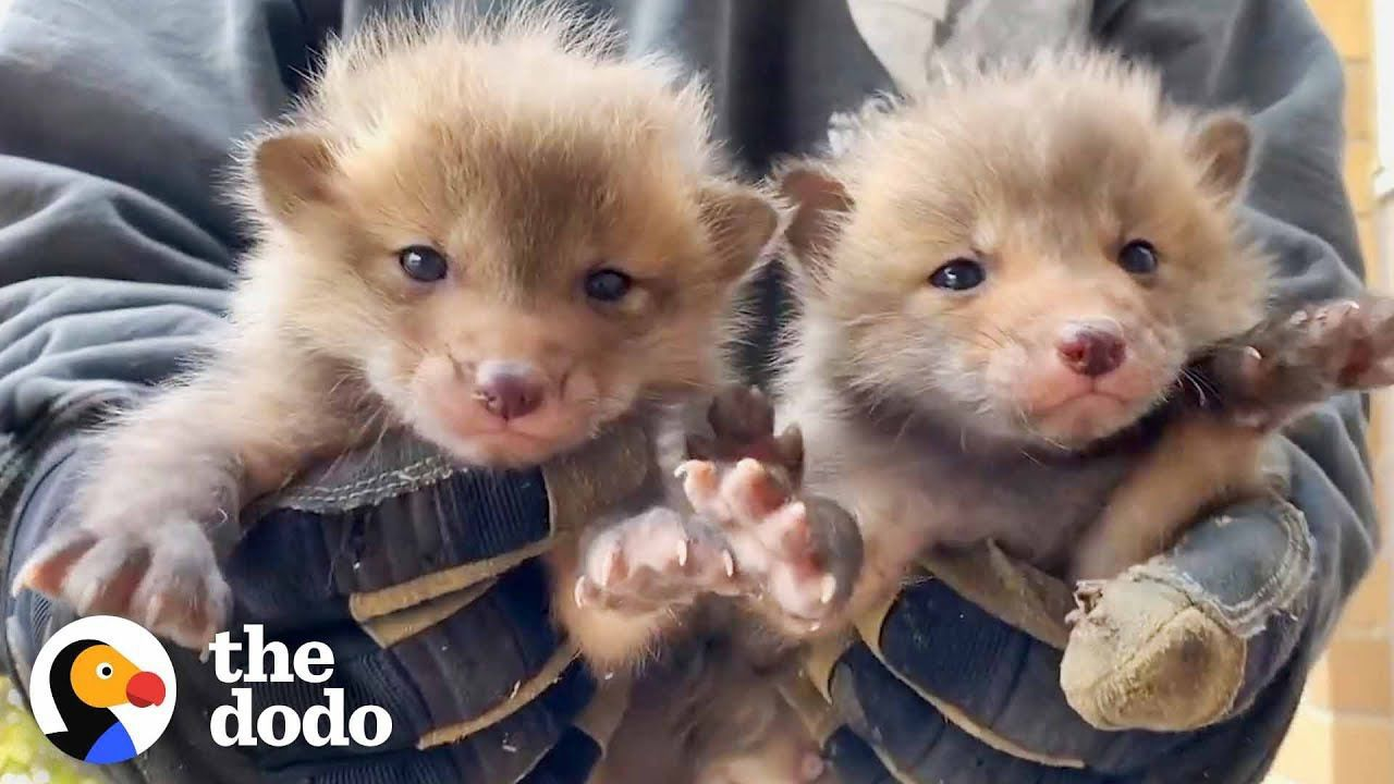 7 Baby Foxes Reunite With Mom After Being Pulled from Under a Deck | The Dodo