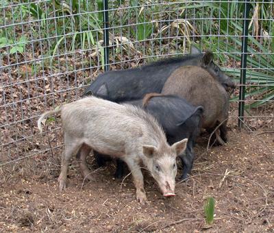 Game cameras enhance feral hog trapping