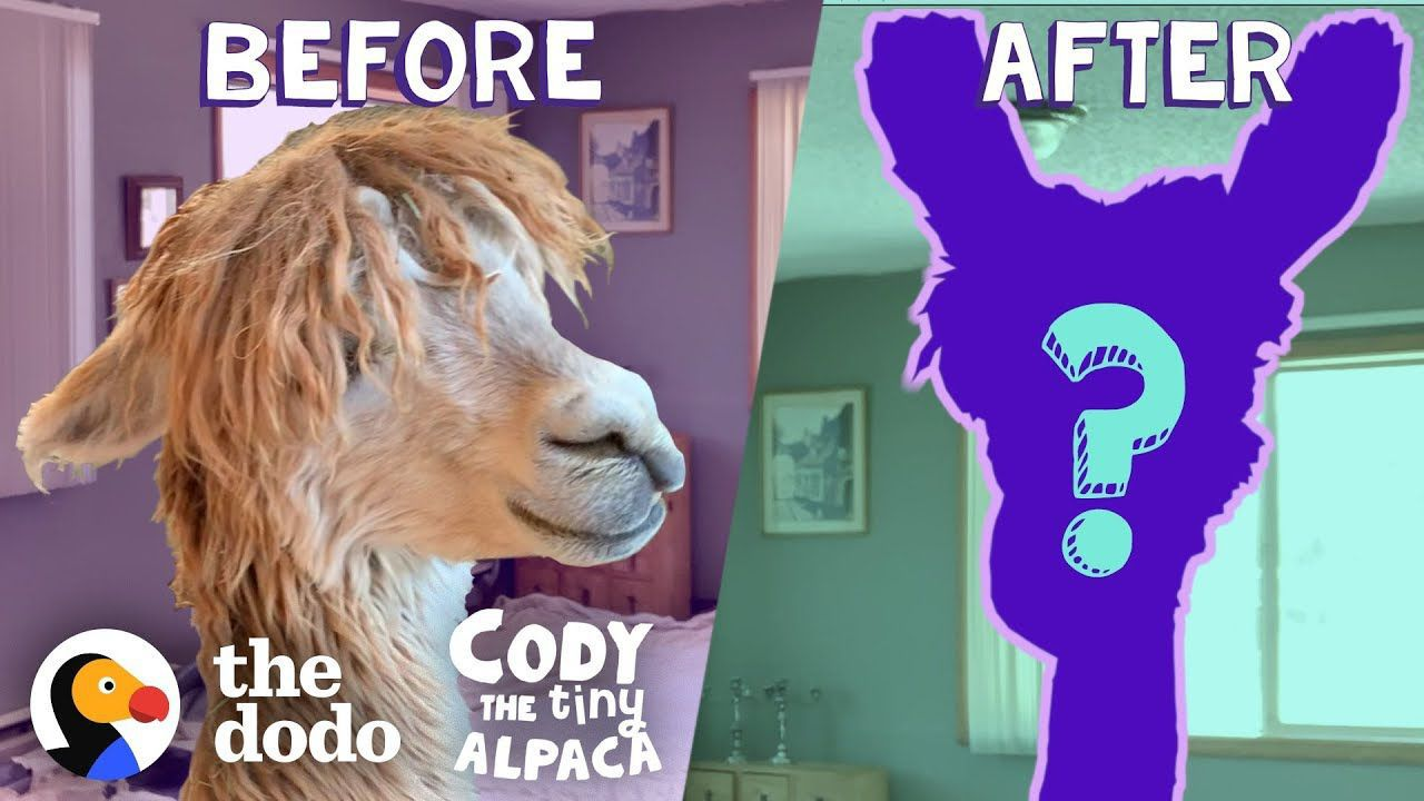 Tiny Alpaca Gets A HUGE Haircut | Cody The Tiny Alpaca (Episode 4)