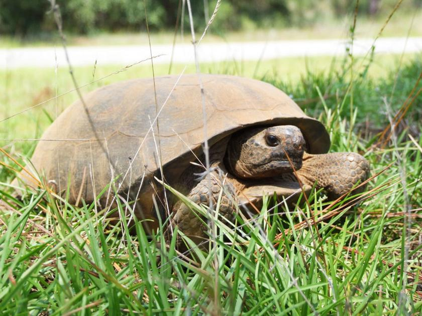 Gopher tortoise declining keystone species | Sports | albanyherald.com