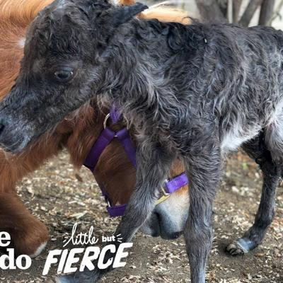 Baby Mini Horse Born Too Small Turns Into A Bucking Bronco | The Dodo Little But Fierce