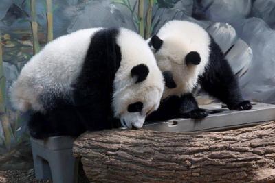 Giants Panda Twins At Zoo Atlanta Turn 1 Year Old Sunday