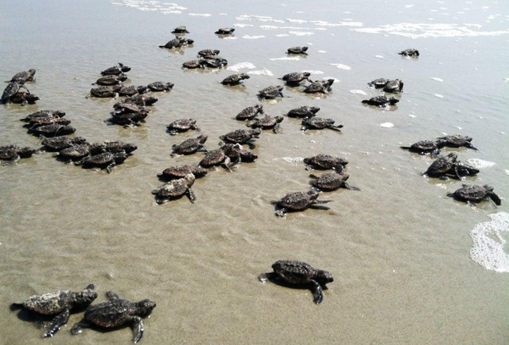 Crawling to Recovery: Loggerhead sea turtles reach a nesting milestone