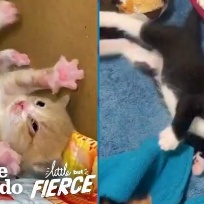 Watch These Teeny Wobbly Kittens Never Give Up | The Dodo Little But Fierce