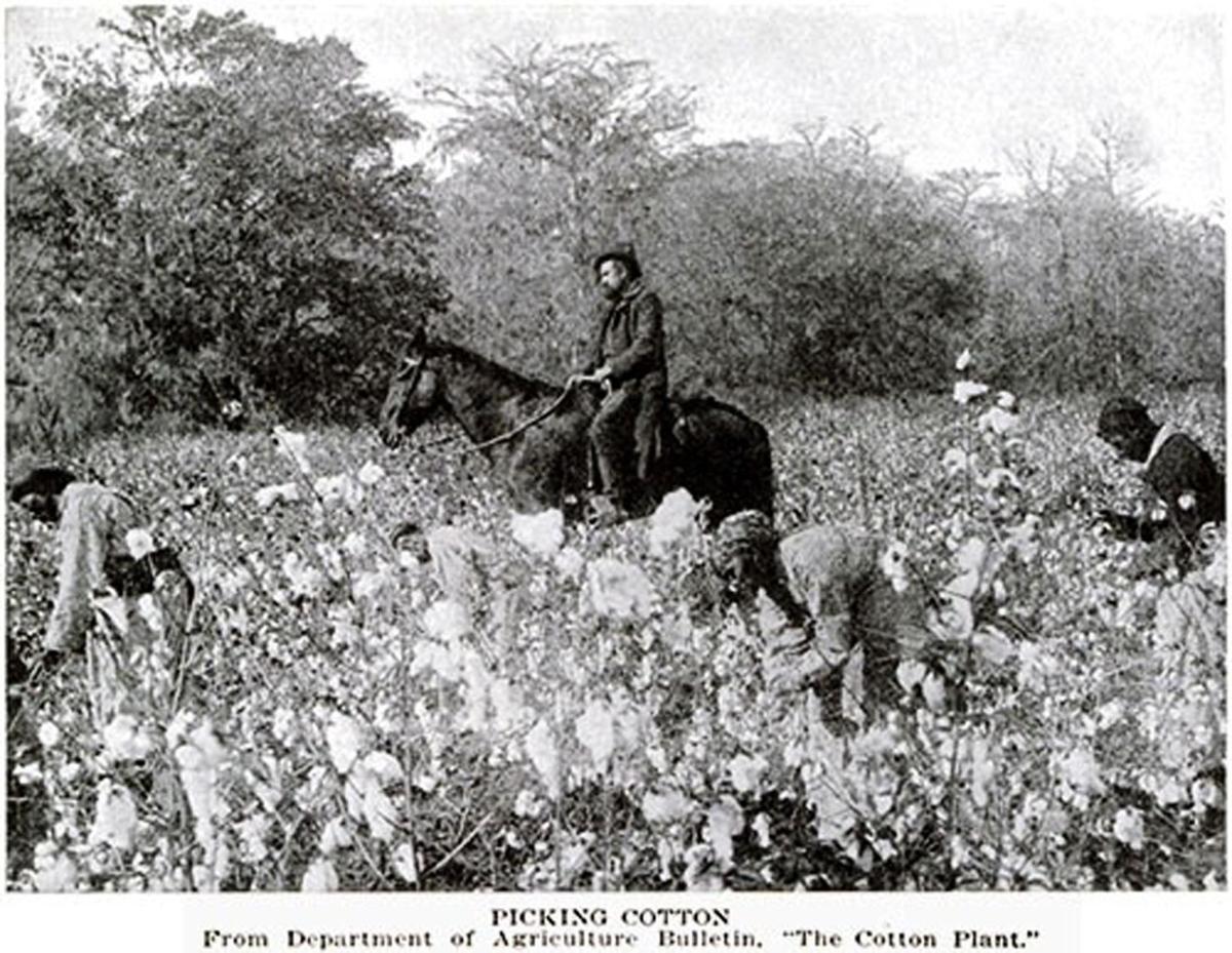 Historical Cotton Images | Multimedia | albanyherald.com