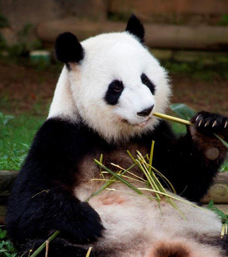 Zoo Atlanta newborn giant panda twins making progress ...