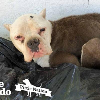 Starving Pittie Found Lying On Top Of Trash | The Dodo Pittie Nation