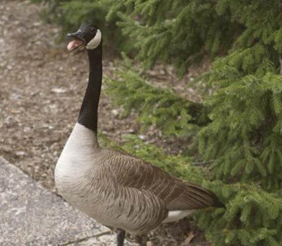 Cancelled charity harvest of geese draws campus debate