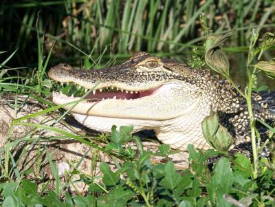 0531-Alligators.jpg