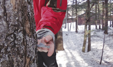 Collect sap for syrup