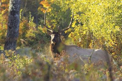 Elk management