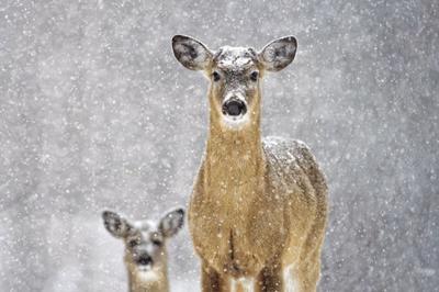 Deer management input