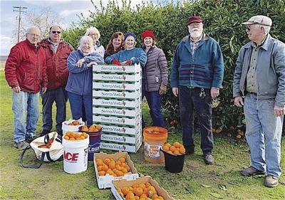 Volunteers pick mandarins for food bank