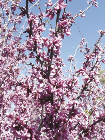 Every Blooming Thing: Redbud, a plant for all seasons