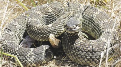 Warm weather brings out the rattlesnakes