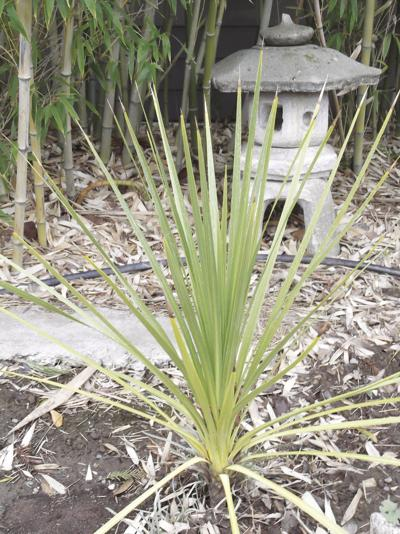 Every Blooming Thing: Cordyline