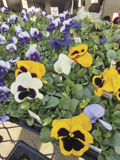 Every Blooming Thing: The humble pansy