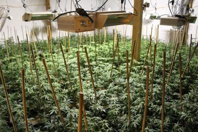 Seven arrested in connection to commercial marijuana grow in Hamilton City