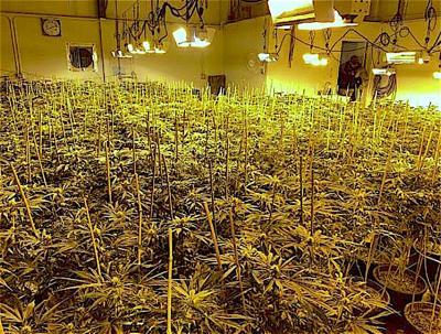 752 marijuana plants seized