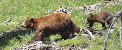Lassen Volcanic backcountry camping closed due to bears