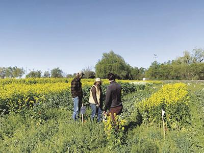 UCCE hosts drive-by field visit for cover crop demonstration plots