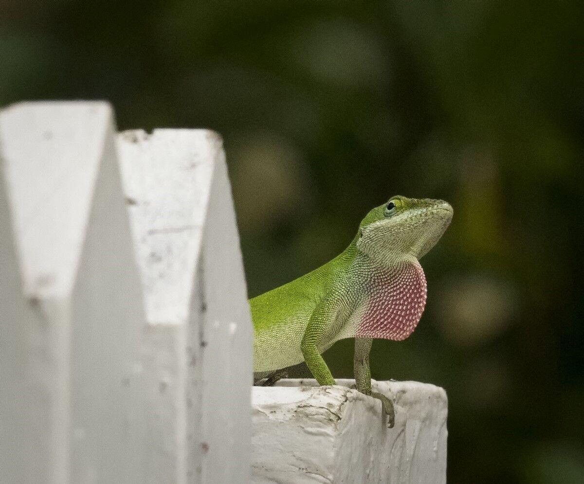autrey mill chameleon