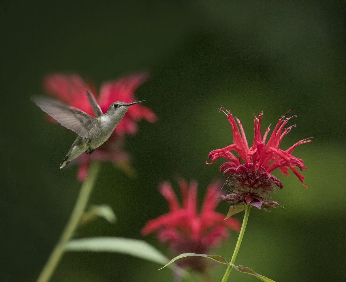 autrey mill hummingbird