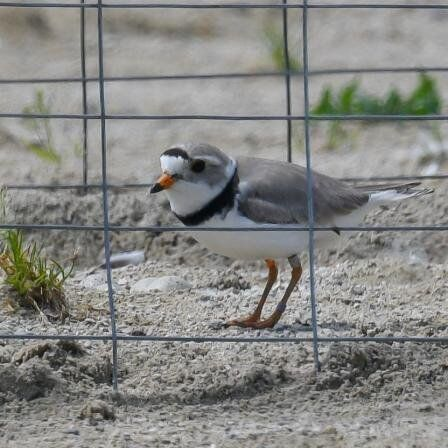 Piping Plover on the nest