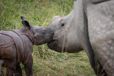 Greater One-Horned Rhino Calf