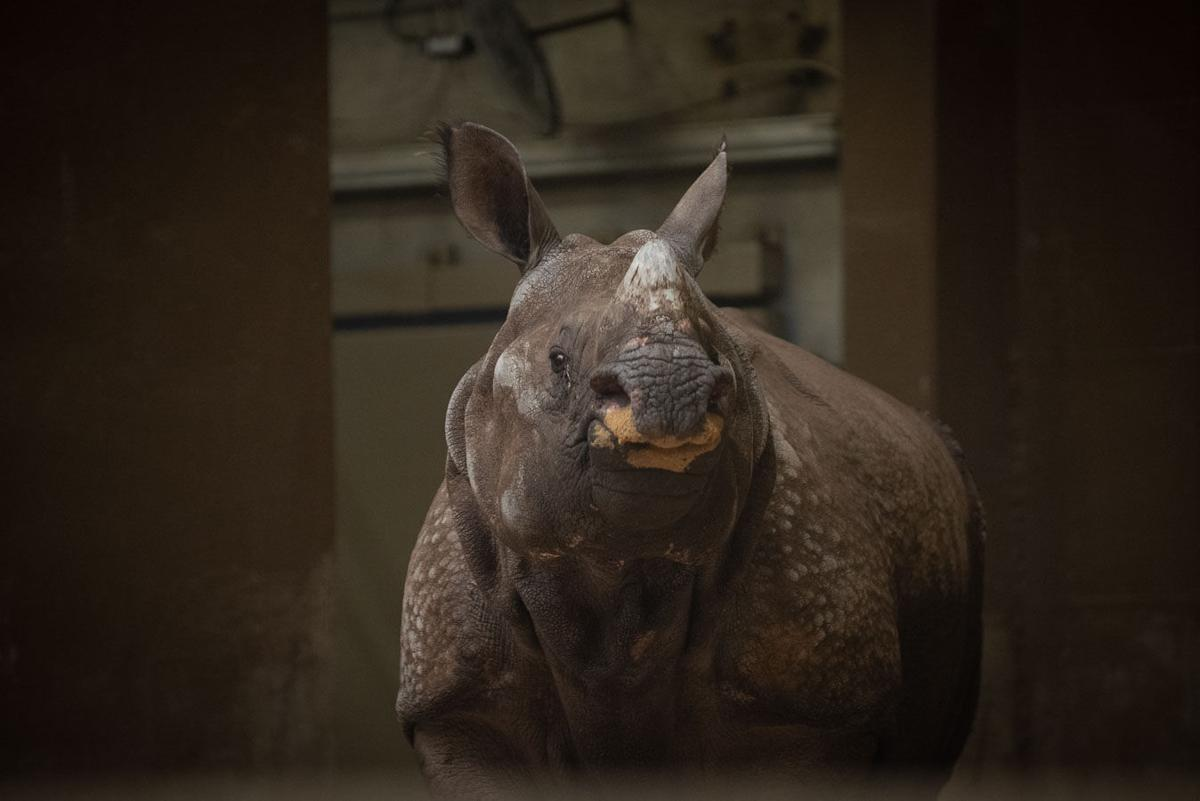 Greater One-horned Rhino (Brian)