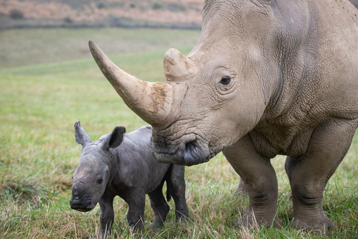 Denver Zoo welcomes its first-ever baby rhino after a
