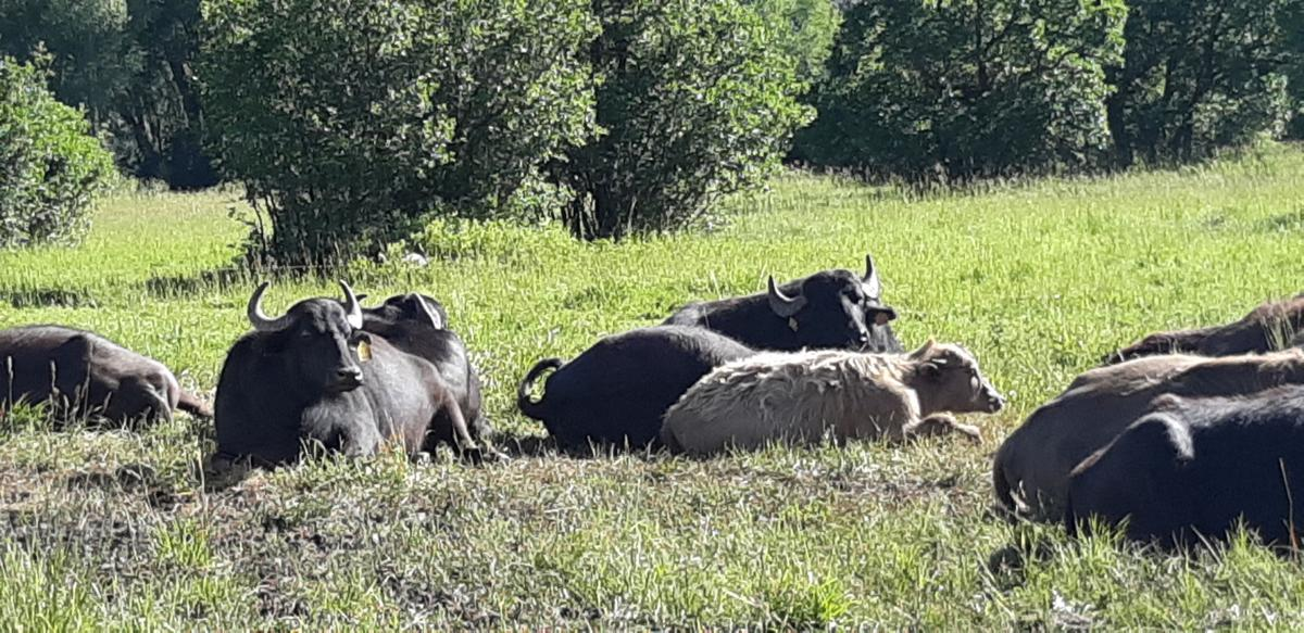 Ranching water buffalo in the Roaring Fork Valley