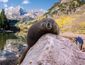 Aggressive marmot causes Maroon Bells trail closure