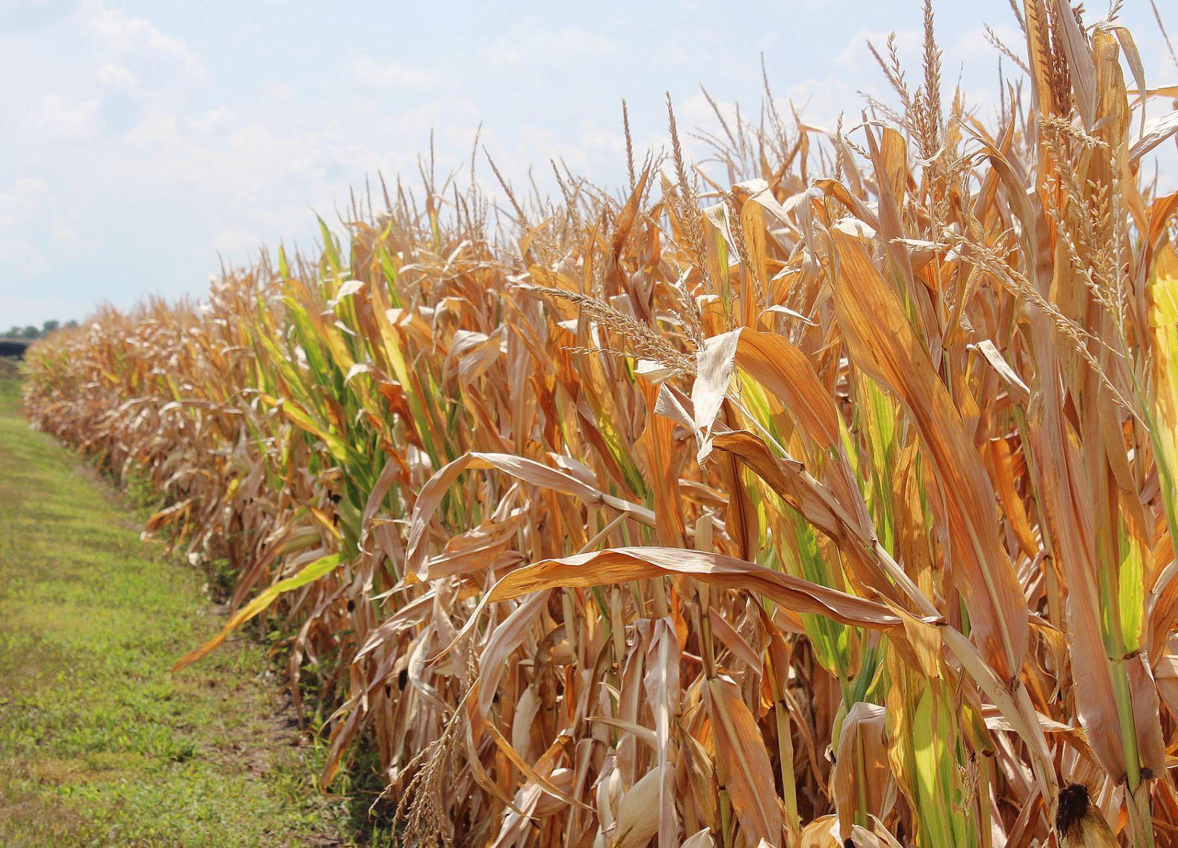 Local corn crop struggles through drought and