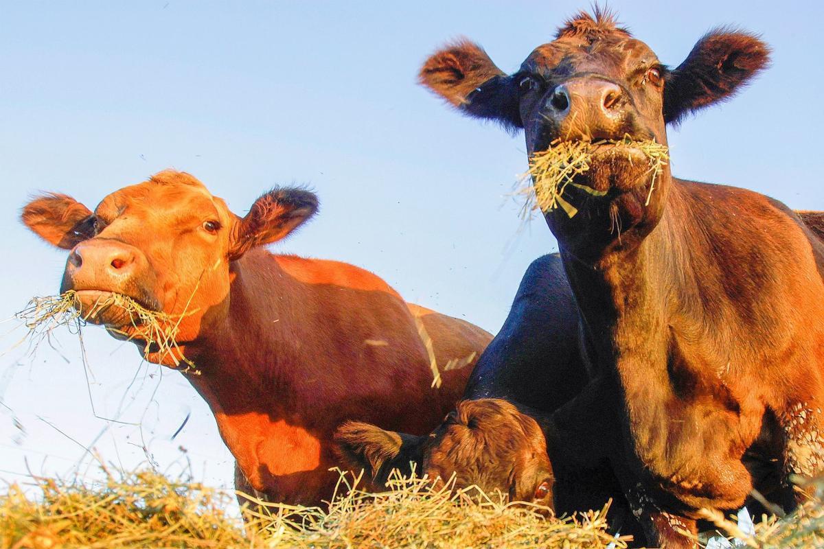 Cows file photo