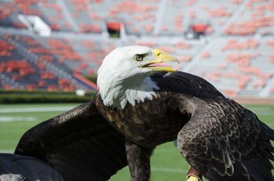 Auburns Eagles More Than A Tradition Sports Auburnvillagercom