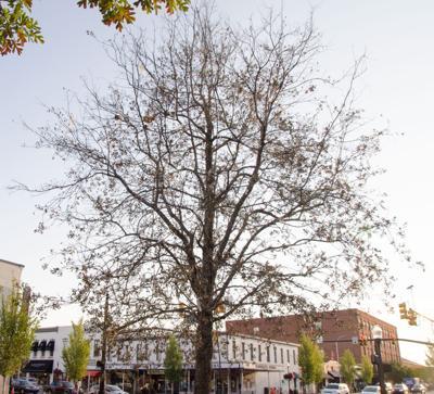 Magnolia oak