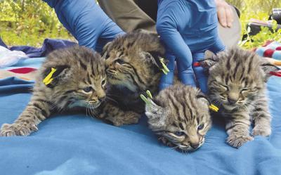 Bobcat Births