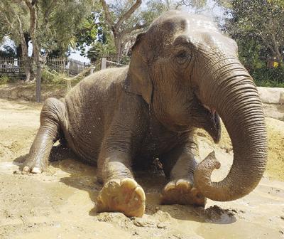Zoo Elephant Euthanized