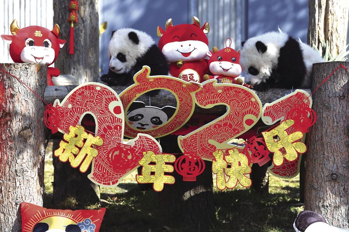 China Baby Pandas