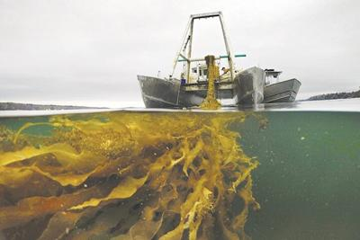 Seaweed Boom