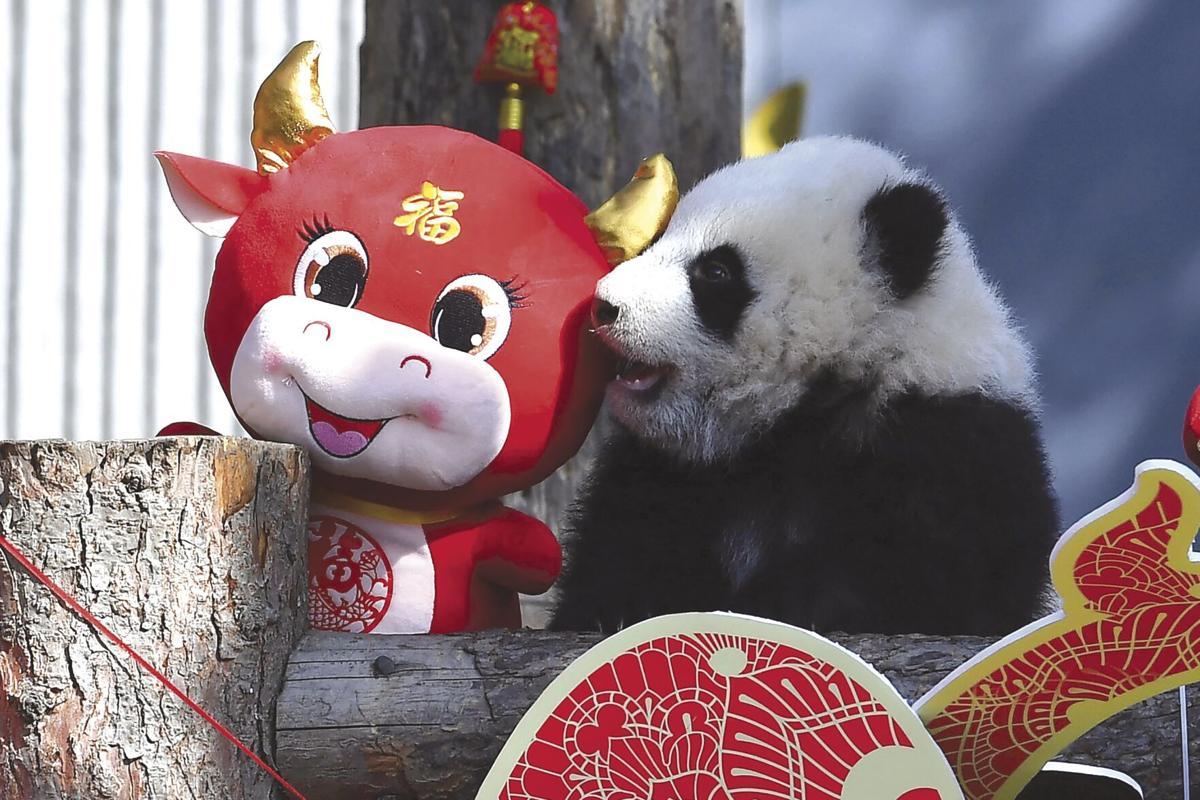 APTOPIX China Baby Pandas