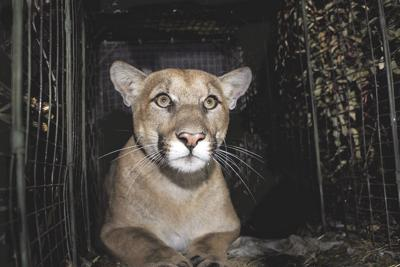 Mountain Lion Killed
