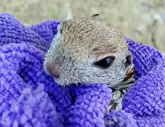 A Cave Creek EMT rescued a tiny chipmunk from drowning, and saved its life with CPR. (Source: Collin Rasmusson)