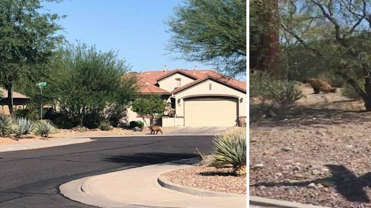 Game and Fish euthanized 'nuisance bear' spotted in Anthem Monday