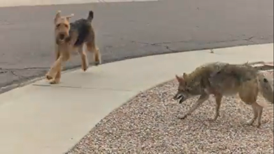 coyote and dog play in Tempe